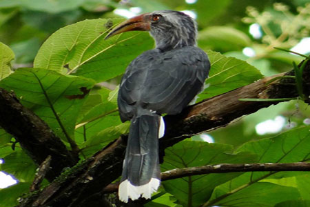 Image of Malabar Hornbill at Sundara Mahal