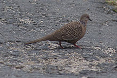 Image of Spotted Dove Streptopelia chinensis