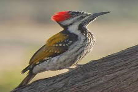 Image of The Redheaded Woodpecker