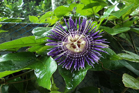 Image of The Exotic Blue Passiflora Flower