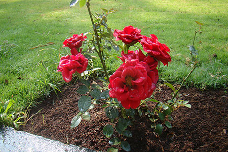 Image of Red Hybrid Roses