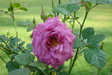 Image of The Light Purple Hybrid Rose