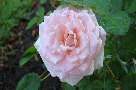 Image of The Pink Hybrid Rose in bloom