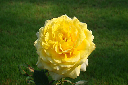 Image of the Yellow Hybrid Rose flower in bloom