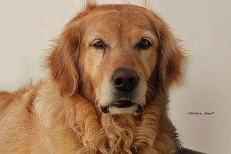 Image of TIA our golden Retriever Princess